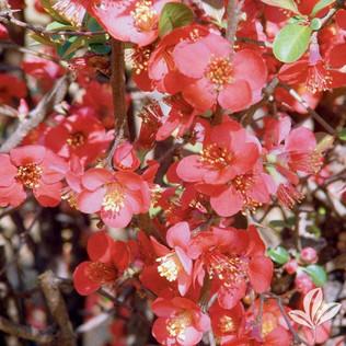 Flowering Quince.jpg