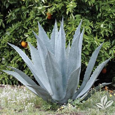 Agave (Century Plant).jpg