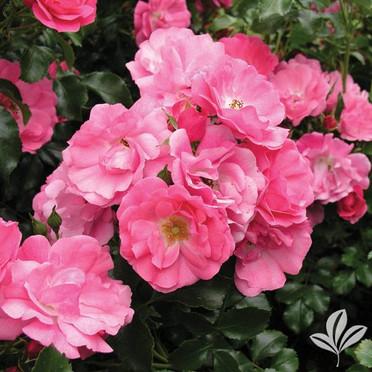 Flower Carpet Series Rose.jpg