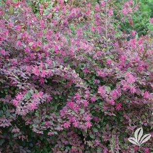 Purple Fringe Flower.jpg