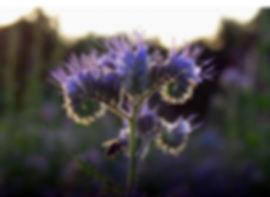 Facelia-fiore.jpg
