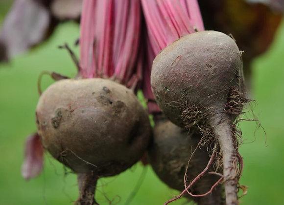 Barbabietola Detroit  (Beta vulgaris)