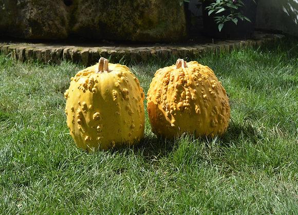Zucchina Pantesca (Cucurbita pepo)