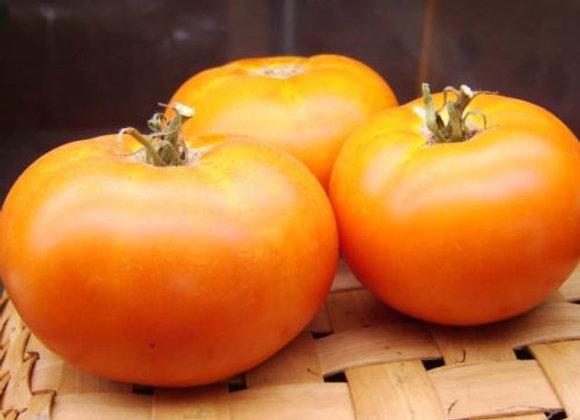 Pomodoro Caro Rich (Lycopersicon lycopersicum)