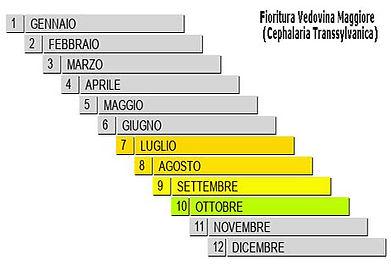 Fioritura-cephalaria-transsylvanica.jpg