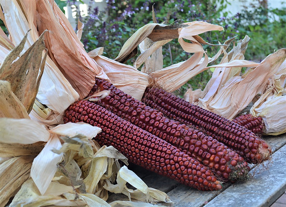 Mais Bloody Butcher (Zea mays)