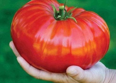 Pomodoro Beefsteak (Lycopersicon  lycopersicum)