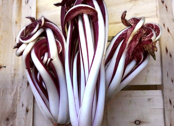 Radicchio Rosso di Treviso tardivo (Cichorium intybus)