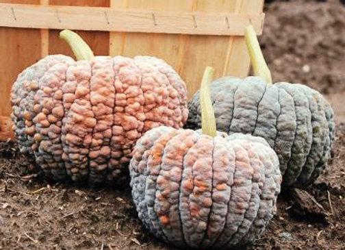 Zucca Nera Giapponese (Cucubita moschata)