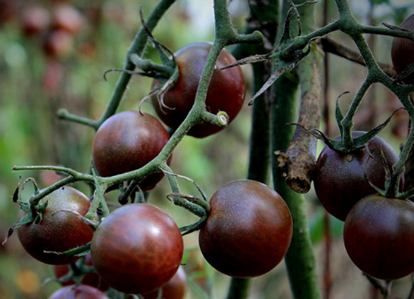 Pomodoro Black Cherry (Lycopersicon lycopersicum)