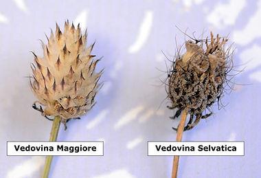 Vedovina_Maggiore_Vedovina_Selvatica_Cip