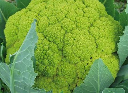 Cavolfiore Verde di Macerata (Brassica oleracea)