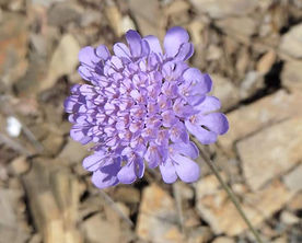 scabiosa-columbaria-fiore.jpg