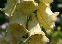 Digitale (Digitalis grandiflora)