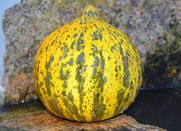 Melone Alacati (Cucumis melo)