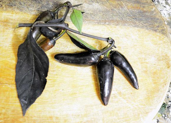 Peperoncino Nero Atzeco (Capsicum annuum)
