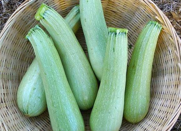 Zucchina Genovese (Cucurbita pepo)