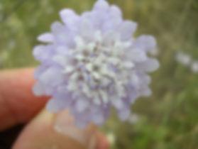 cephalaria-transsylvanica-fiore.jpg