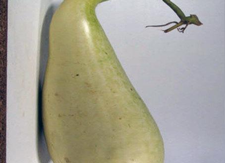 Zucca Mayo Giant (Lagenaria Siceraria)