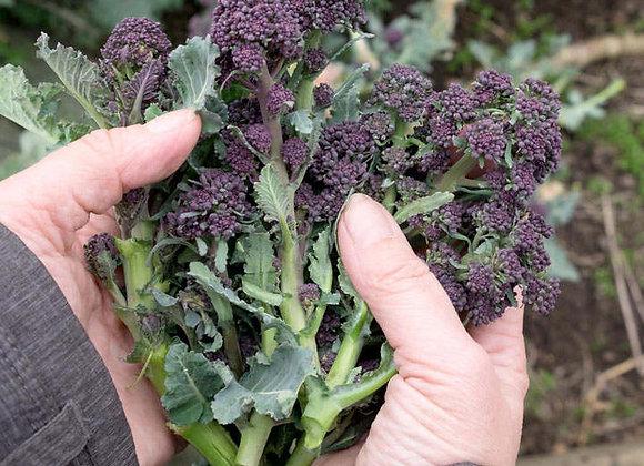 Broccolo Viola (Brassica oleracea var. Botrytis)