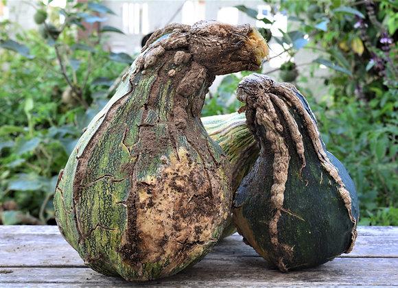 Zucca Yoeme Kama (Cucurbita argyrosperma)