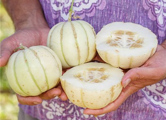 Melone Kiku Chrysanthemum (Cucumis melo)