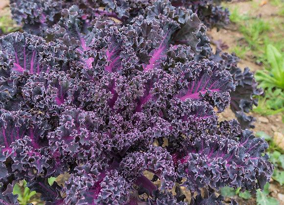 Scarlet Kale - Cavolo Riccio Scarlatto