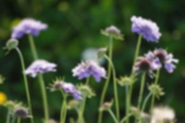 Scabiosa_columbaria-coltivazione.jpg