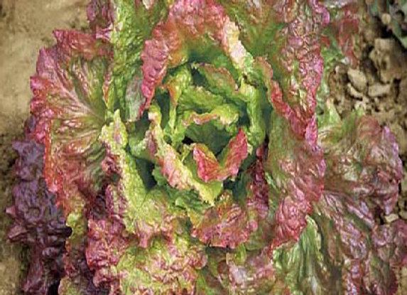 Lattuga Ubriacona (lactuca sativa)