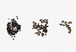seme-facelia-Vedovina-Maggiore-Selvatica