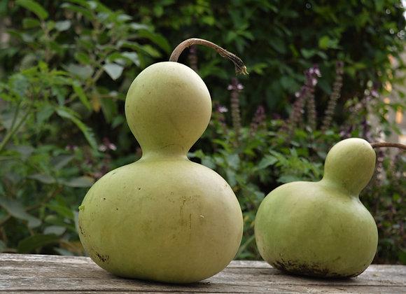 Zucca Bottiglia Pellegrino (Lagenaria siceraria)