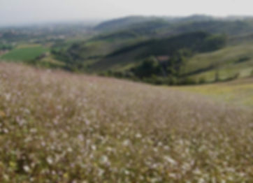 cephalaria-transsylvanica517.jpg