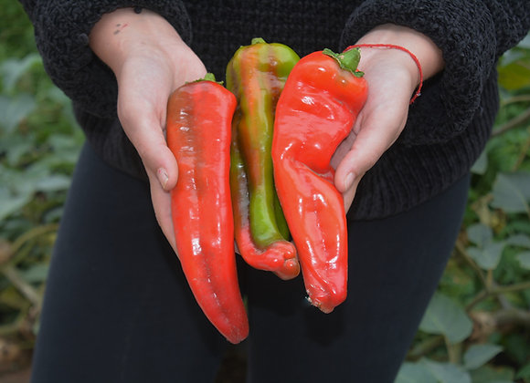 Peperone Large Sweet Antigua (Capsicum annuum)