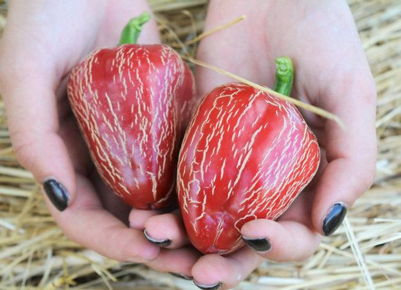 Dieghito Jalapeño (Capsicum annuum)
