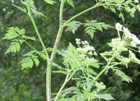 Cicuta (Conium maculatum)