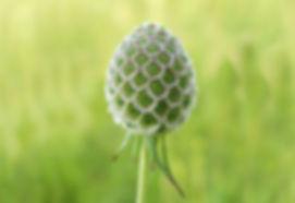 Scabiosa-columbaria-frutto.jpg