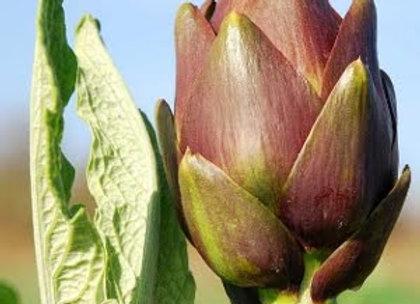 Carciofo Violetto Toscano (Cynara scolymus)