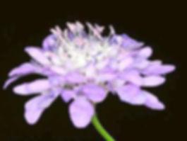Fiore Vedovina Maggiore