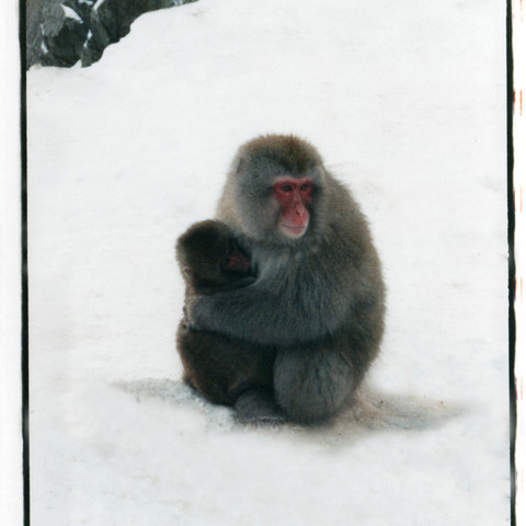 Snow monkey with little one