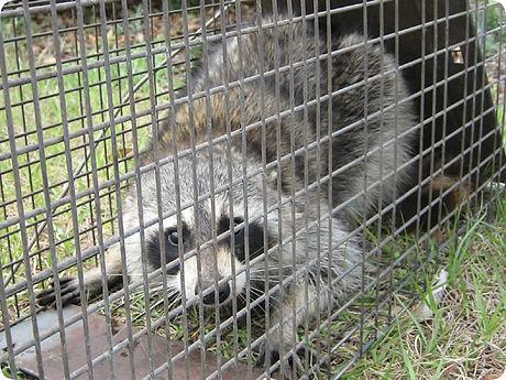 raccoonrepellent.jpg