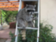 Yogi hangs out on his ladder, eating turkey