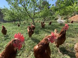 gallinas y ocas