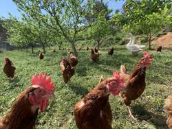 gallinas y ocas.jpg