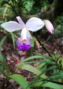 The Bamboo Orchid on the Big Island