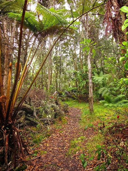 Tropical Rain-forest near Volcano Park Hawaii