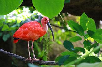 scarlet-ibis-water-bird-1339649.jpg