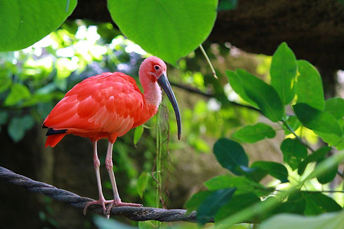 scarlet-ibis-water-bird-1339649.jpg