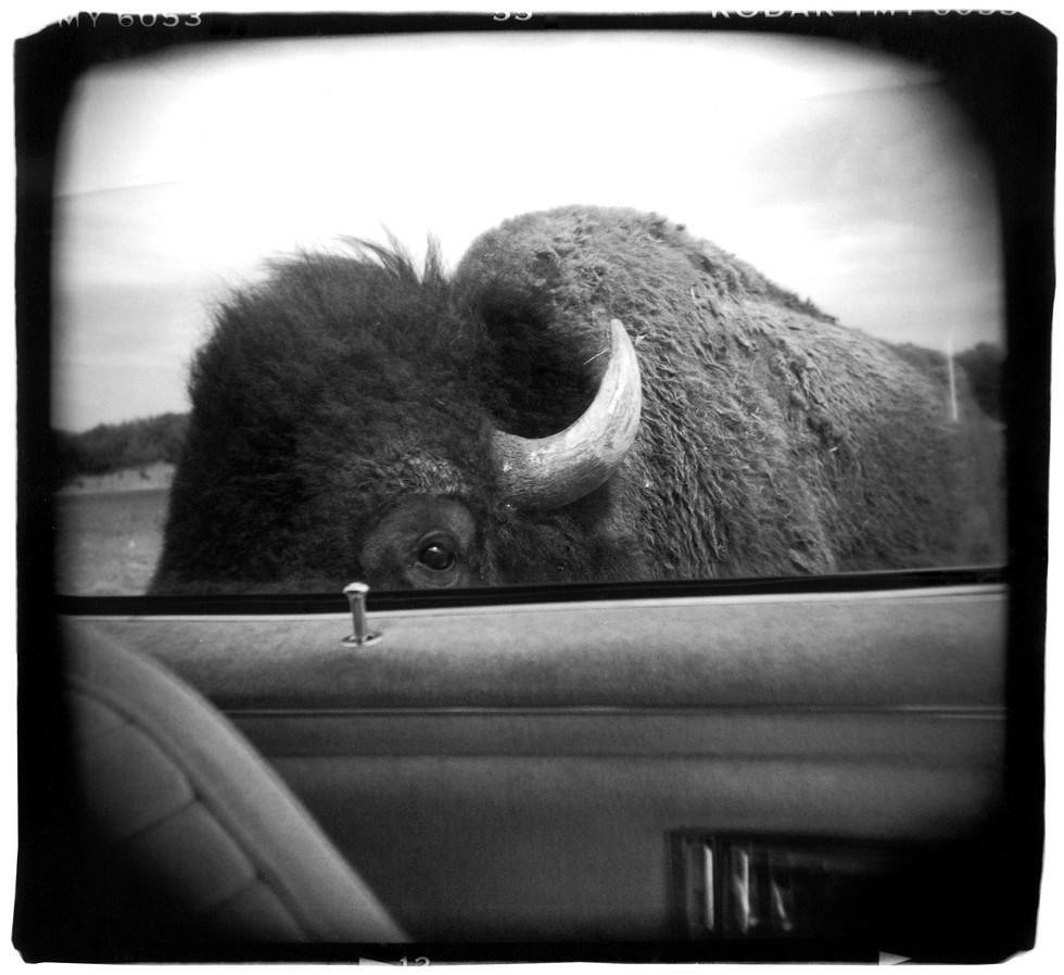 web_bison.jpg