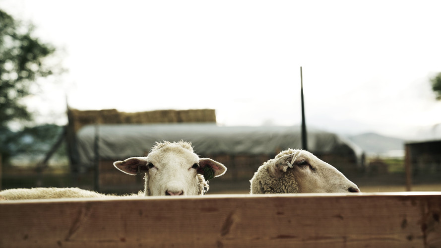 SHEEP, USA