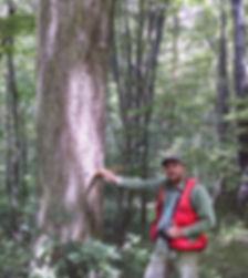 Measuring a large Hickory tree